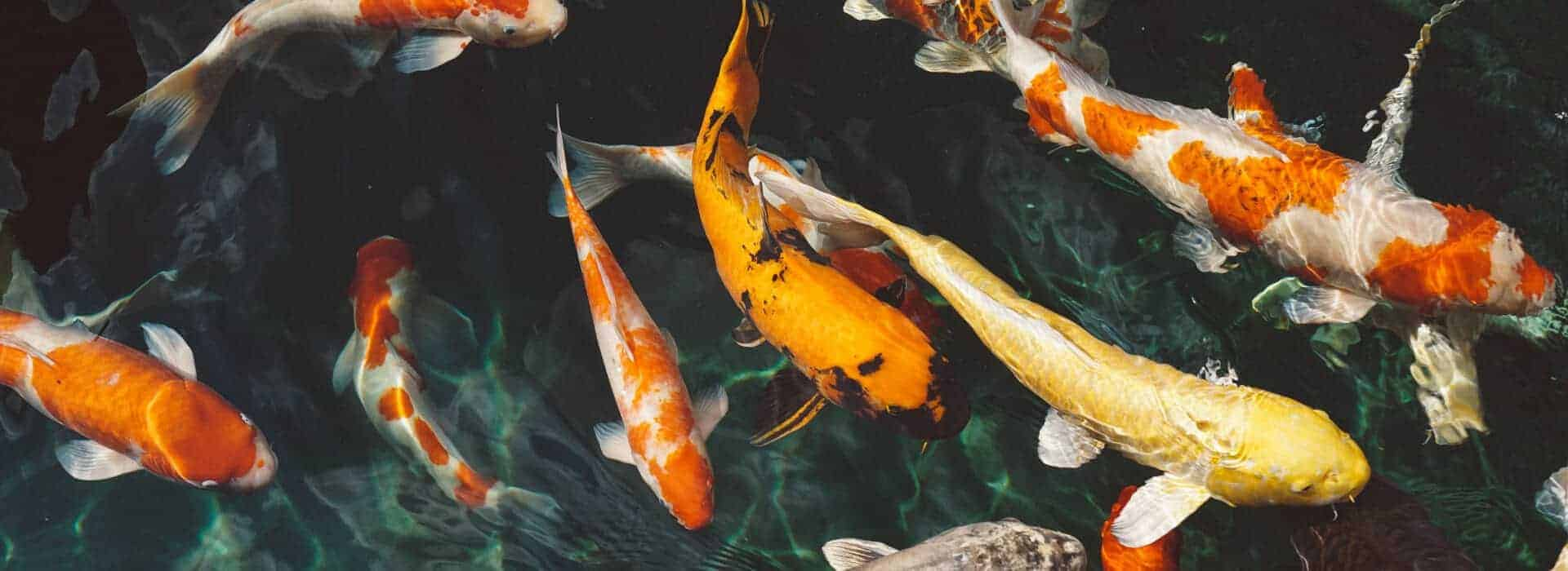 koi fish supply