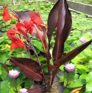 water canna pond plant supply orange county