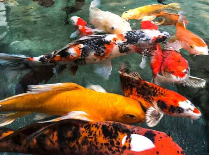 clear koi pond water thanks to amazing filtration