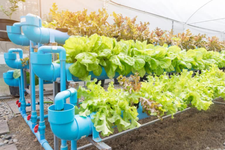 Use Fish Waste As Fertilizer For Your Organic Garden Or Even Hemp Plants