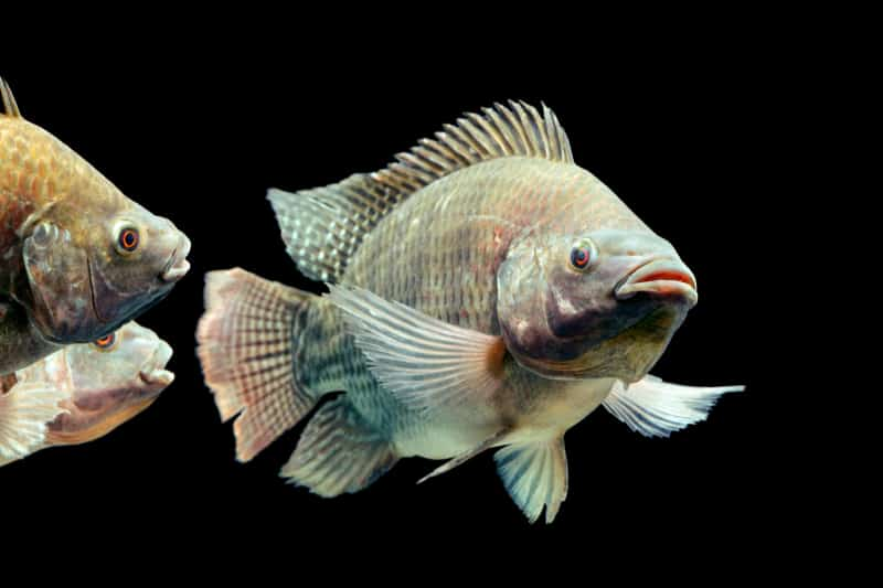 tilapia fish swimming in pond for plant fertilizer