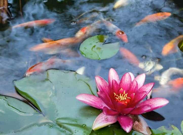 treating koi pond water and a